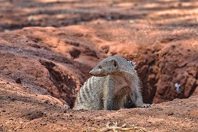 Banded Mongoose of Tanzania