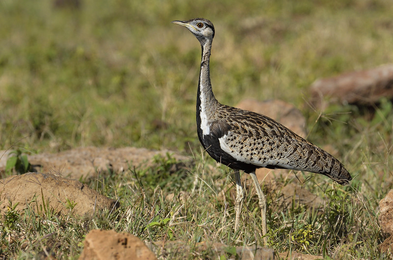 Black-bellied-bustard.jpg