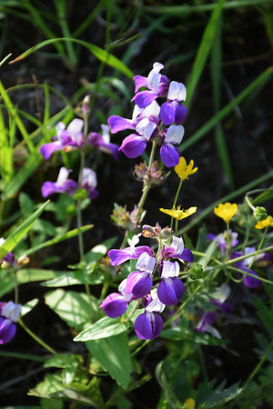 Shell Ridge Wildflowers - Southern Ridgetop Trail 041614