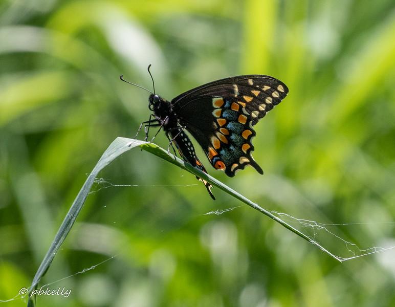 b swallowtail 060620-1.jpg