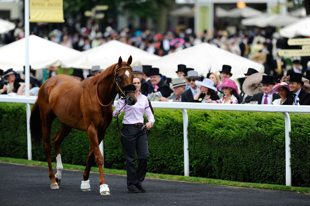 . Stablelass Alice Claphan walks Animal Kingdom in the pre-parade ring during day one of Royal Ascot at Ascot Racecourse on June 18, 2013 in Ascot, England.  (Photo by Alan Crowhurst/Getty Images for Ascot Racecourse)