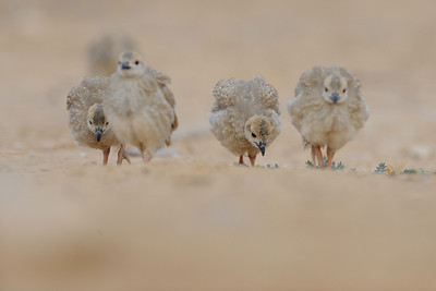 Chukar Fledglings
