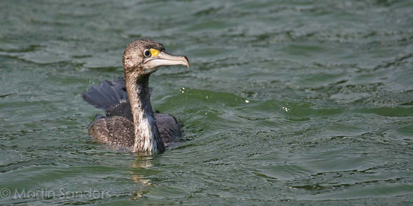 Shags and Cormorants