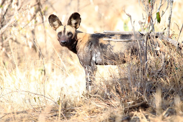 Wild Dog Laikipia Wilderness Kenya 2018