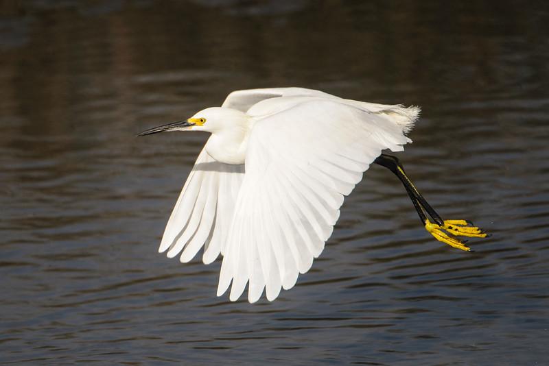 Egret - Snowy - St. Marks NWR - FL