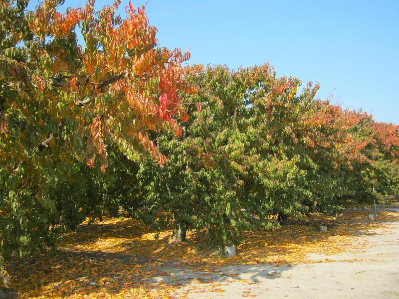 Fall Leaves on Summeripe Tree.jpg