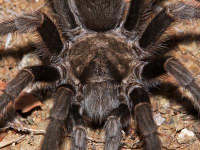 SF Peninsula Arachnids