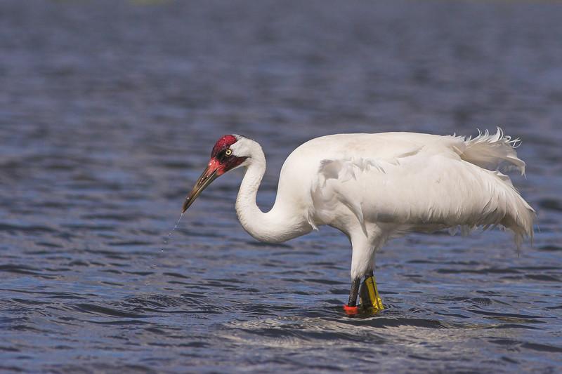 A wading Whooping Crane in Lake Kissimmee, near Joe Overstreet's Landing.