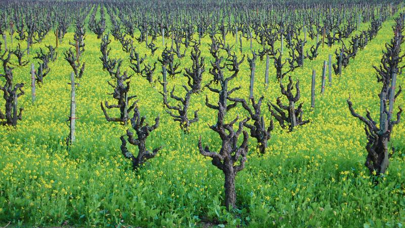 mustard and vines.jpg