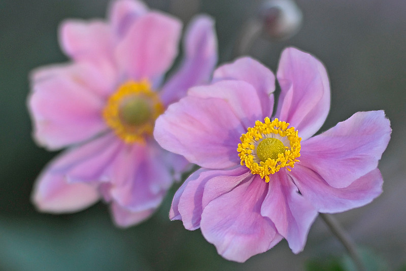 Anenome Flowers