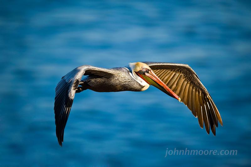 Pelican cruising