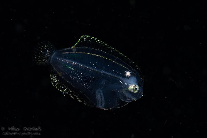 Larval flounder_BW (1 of 1).jpg