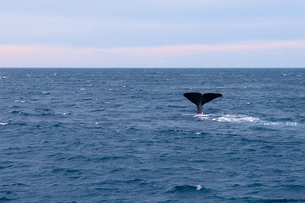Sperm Whale (Pottwall)