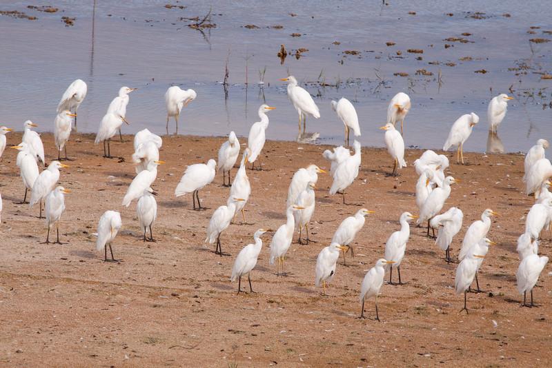 Cattle Egrets Preening