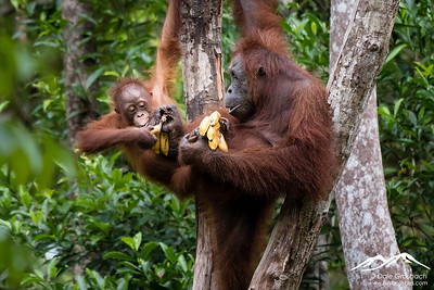 Kalimantan and the Old Men of the Forest