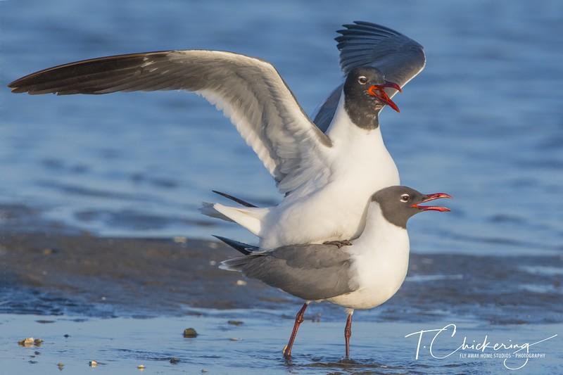 Laughing Gull Mating Two.jpg