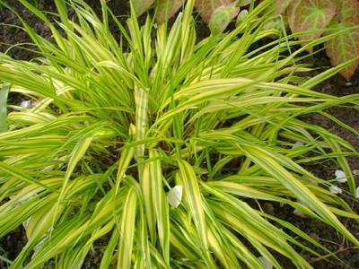 Hakonochlea macra 'Aureola'.jpg