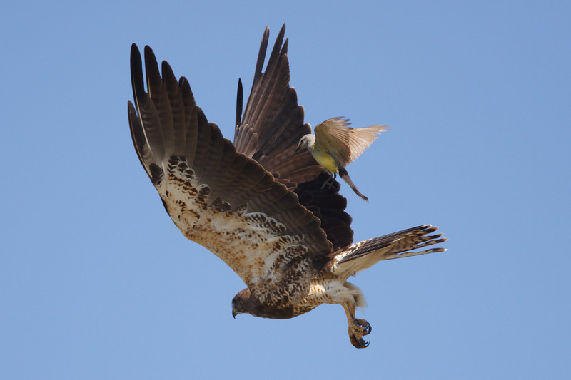 Swainson's Hawk intermediate morph adult mobbed by Western Kingbird (4) at Firebaugh, CA (07-18-2009)