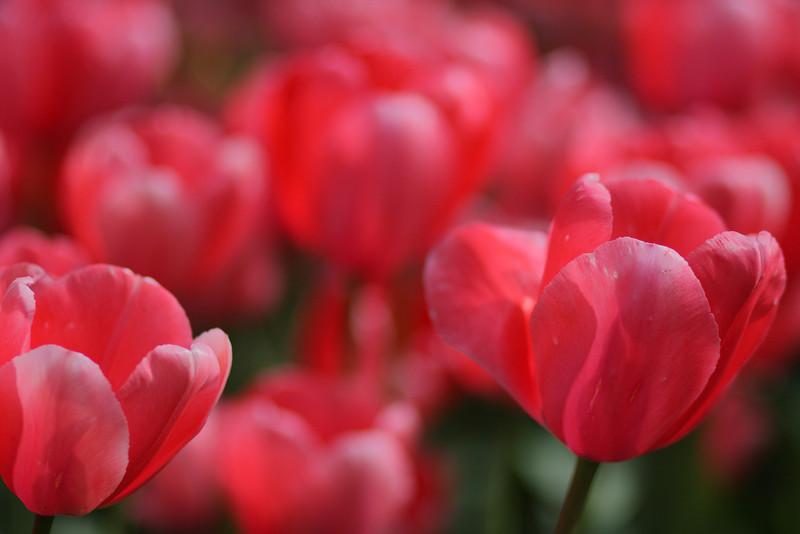 Tulips-2010 11.JPG