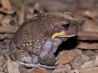 Heleioporus - Burrowing Frogs