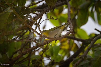 Brilvogel, Japanse (spp. simplex)