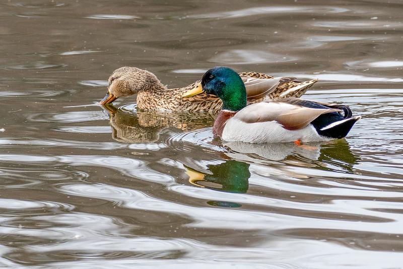 ducks 2222.jpg
