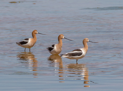 Just Utah Shorebirds, Wading Birds, Cormorants, Dippers and Killdeer