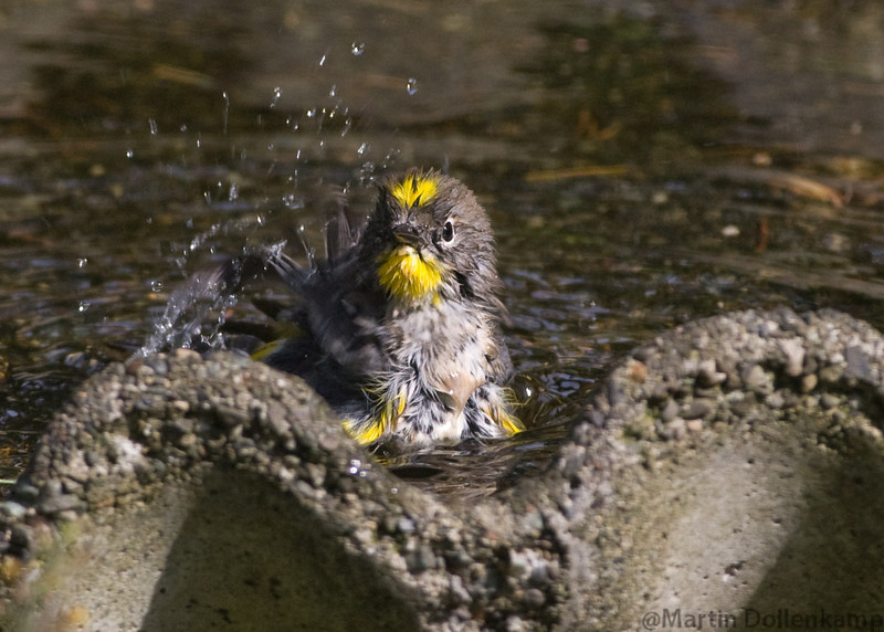 Yellow Rumped Warbler in the bird bath, family came through that day and all wanted a bath some went in the pond for there's.