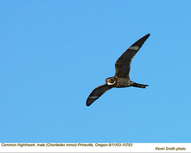 CommonNighthawkM17083.jpg