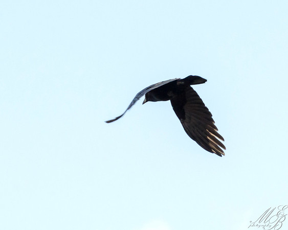 Jays, Crows and Kin