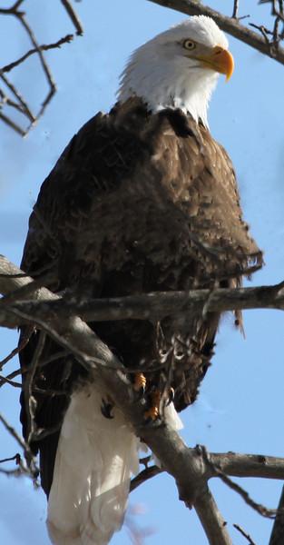 bald eagle 2143.jpg