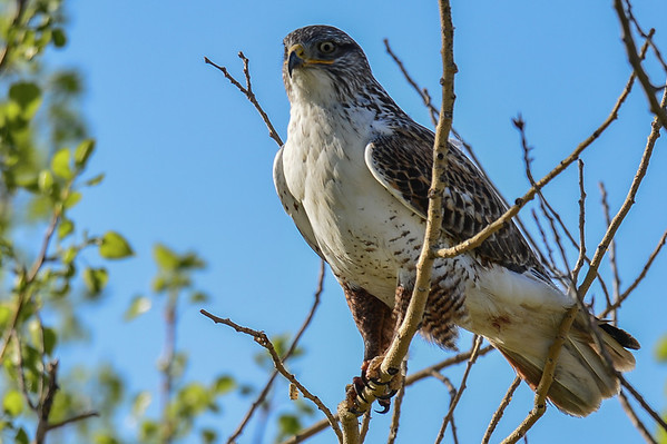 4-21-14 Ferruginous Hawk - Up Close & Personal
