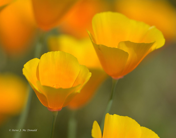 California Golden Poppies 2014
