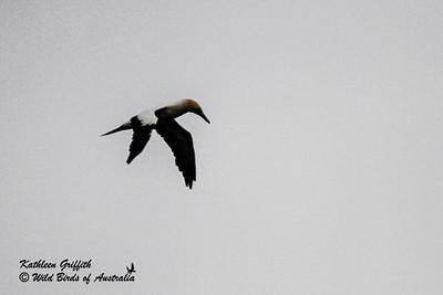 Gannets, Boobies & Frigatebirds