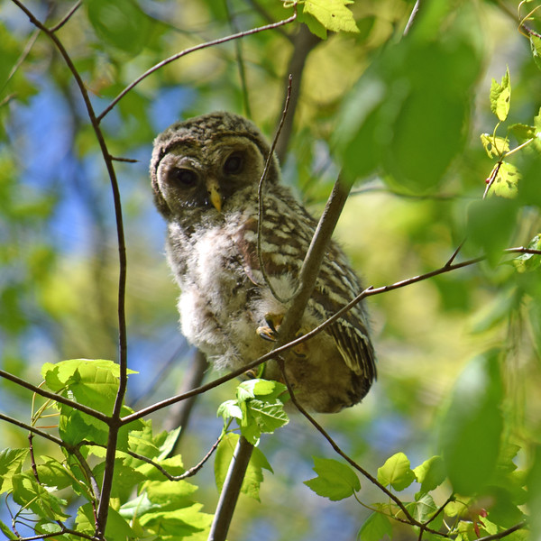 Barred Owl in Lord Stirling Park