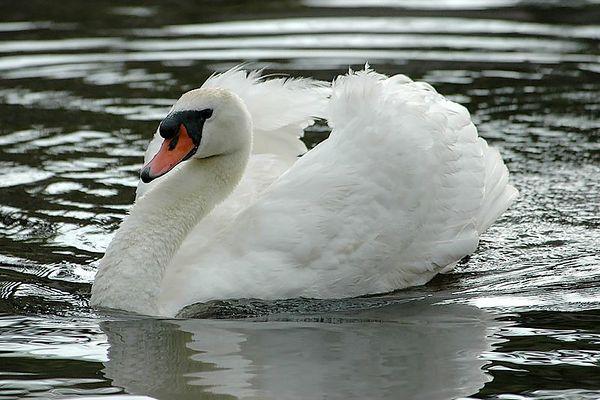 Swan Song - 5-28-05