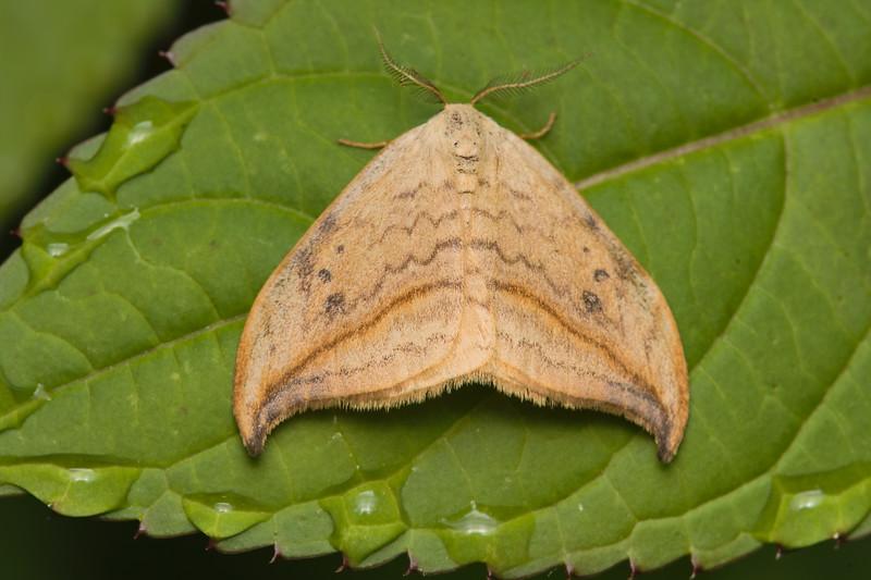 Arched Hooktip Moth, Drepana arcuata