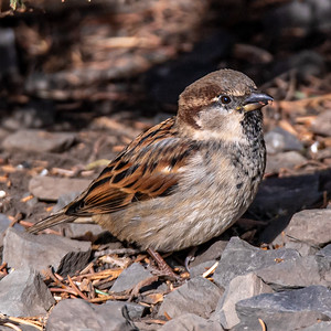 12-5-20 House Sparrows