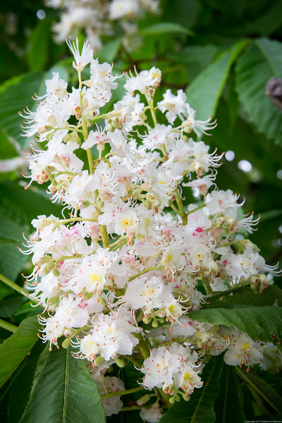 Flowers of the Horse Chestnut Tree