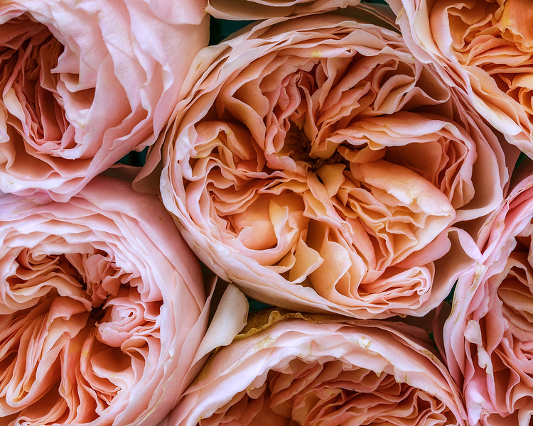 juliet-roses-03.jpg