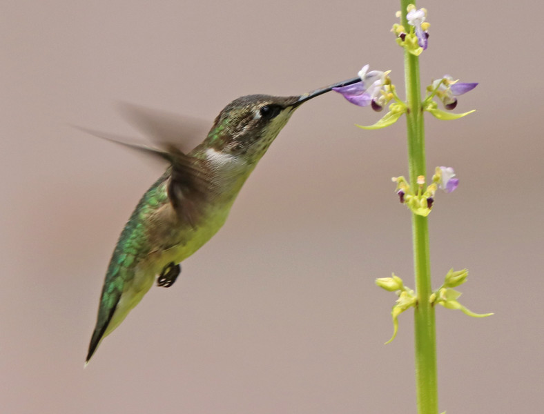 Ruby-throated hummingbird 534