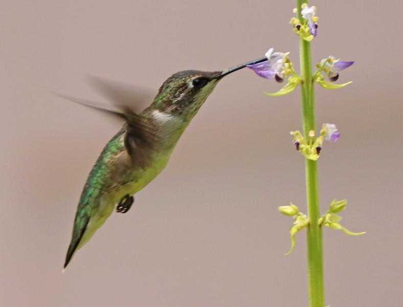 Ruby-throated hummingbird 534