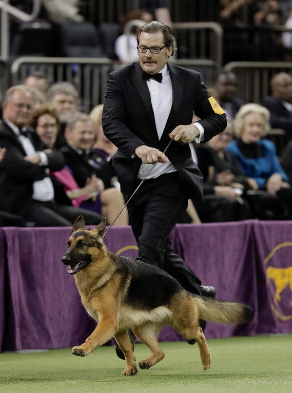 . Handler and co-owner Kent Boyles guides Rumor, a German shepherd around the ring for the Best in Show competition during the 141st Westminster Kennel Club Dog Show, Tuesday, Feb. 14, 2017, in New York. Rumor won Best in Show. (AP Photo/Julie Jacobson)