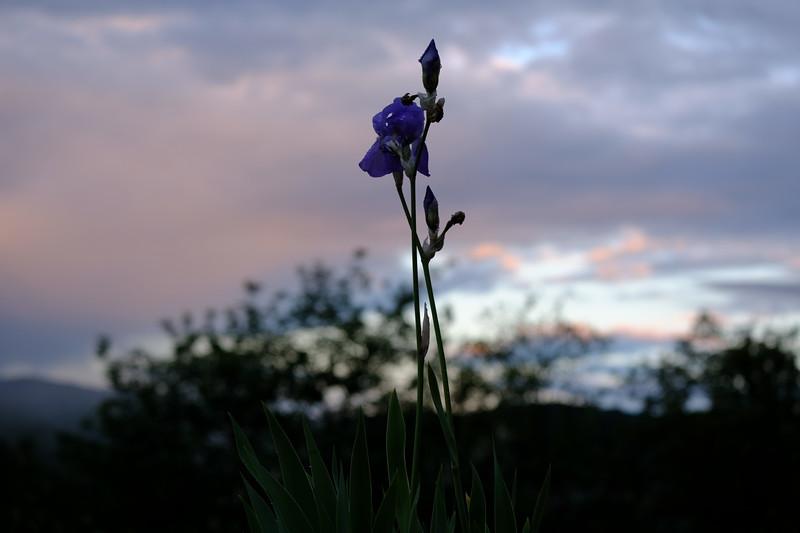 Iris at Sunrise
