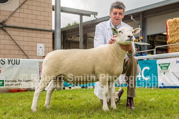 Lleyn Sheep Judging @Royal Welsh Show 2015