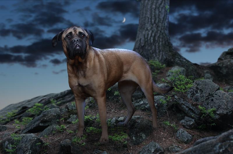 mastif-7.jpg