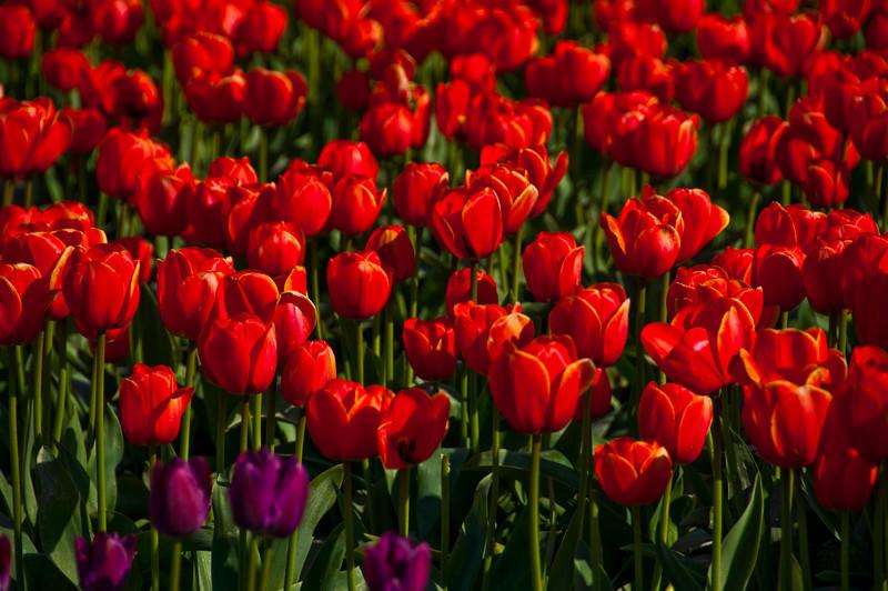 TulipFestival-183.jpg