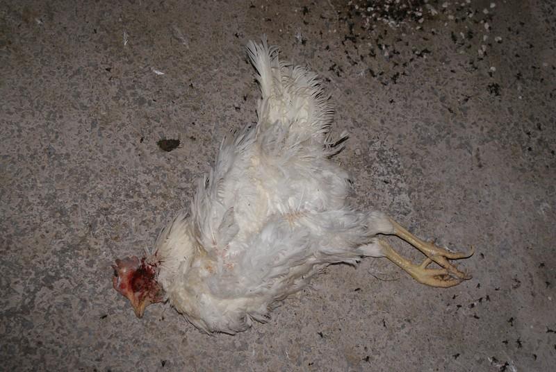 Kingersheim-poules-23 (1).jpeg