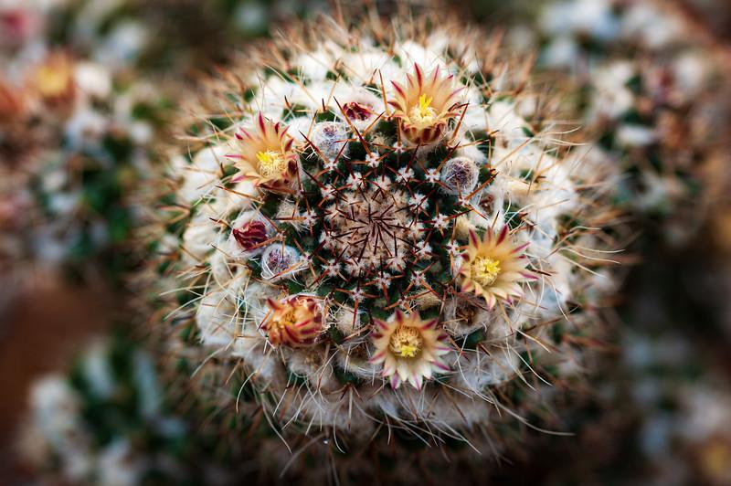 cactus flowers 041220-2209.jpg