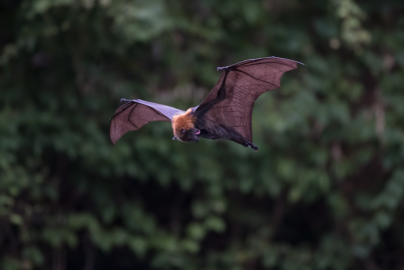 Sigma-Flying-Fox-220118.-_01305.jpg